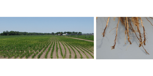 Figure 1. Yellowing of plants (left) caused by root-lesion and other nematode injury. Yield in the center of these areas was as low as 30 bu/ac with badly damaged roots (right) near the end of the season. (Courtesy of UNL)
