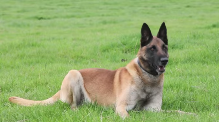 Dog Earns Special Treat: British Award for Bravery