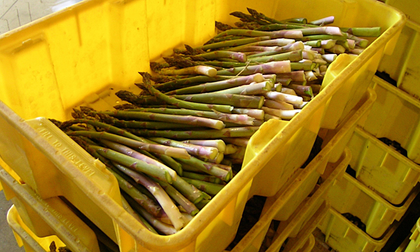 Learn if farming asparagus is right for you