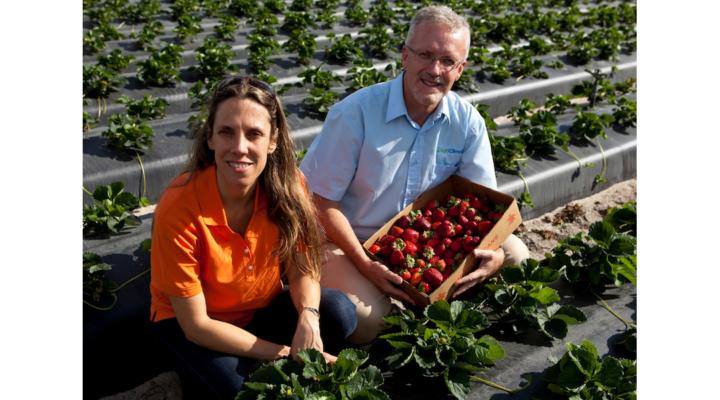 Web tool helps strawberry growers