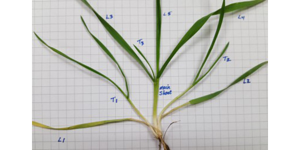 Evaluating seedling wheat stands this fall