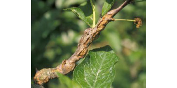 Figure 1: Symptoms of black knot begin as small, light brown, irregular swellings or knots on limbs. (Photo: John Strang, UK)