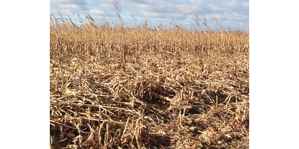 With the delayed harvest and the wind over the last few weeks a lot of corn ears are on the ground in the state. (Courtesy of University of Nebraska-Lincoln)