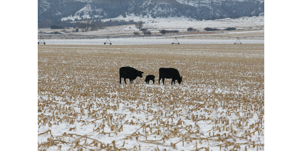 Cornstalk residue can be a great winter feed resource for cows. (Photo courtesy of Karla Jenkins)