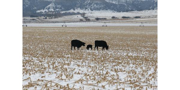 Nutrient demands of cows grazing cornstalks