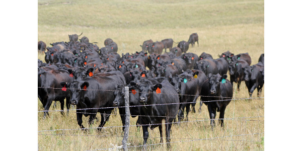 Many valuable beef cattle reproduction resources can be found at beefrepro.info. (Photo courtesy of Troy Walz)