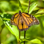 The conservation of Monarch Butterflies is a complicated question. (Courtesy of University of Illinois Extension)