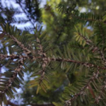 "Hemlock Wooly Adelgid, an insect that can kill hemlock trees, latches onto the base of needles and sucks out nutrients and sugars. Once in place, the adult creates a fuzzy, white, ""wooly"" coat. (Courtesy of Van Buren Conservation District)"