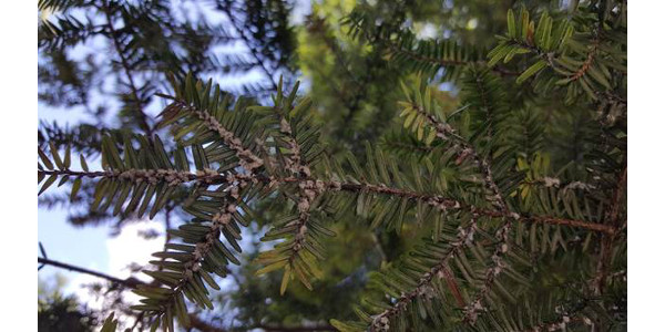 """Hemlock Wooly Adelgid, an insect that can kill hemlock trees, latches onto the base of needles and sucks out nutrients and sugars. Once in place, the adult creates a fuzzy, white, """"wooly"""" coat. (Courtesy of Van Buren Conservation District)"""