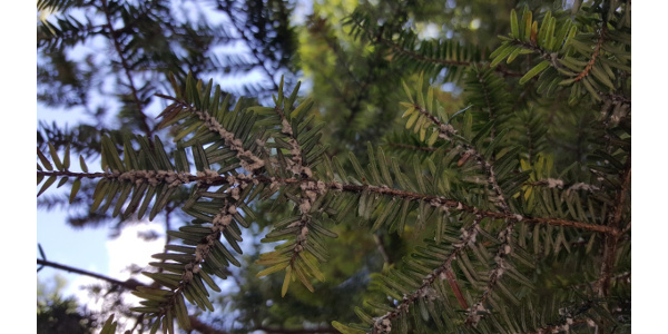 Firewood can move tree diseases and pests, such as oak wilt or hemlock wooly adelgid (HWA), which can quickly kill healthy Michigan Forests. (Courtesy of Van Buren Conservation District)