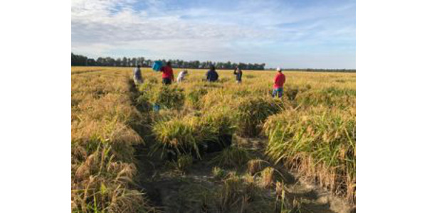 Four Southeast Missouri State University students recently served as Temporary Research Technicians with Dr. Christian De Guzman, Rice Research Fellow, at the Missouri Rice Research Farm west of Malden, Missouri, in northern Dunklin County. (Courtesy of Southeast Missouri State University)