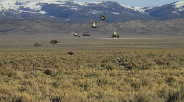 Take Action on Sage Grouse