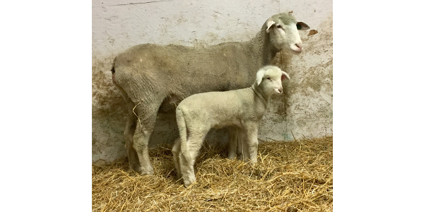 Ewe reproduction strategies will be one of the topics covered at the joint North Dakota and Minnesota Lamb and Wool Producers associations' conference, set for Dec. 1-2. (NDSU photo)