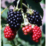 The Winter Blackberry Workshop will be Wednesday, November 15, from 1:00 to 4:00 pm at the MU Southwest Research Center, 14548 Highway H, Mount Vernon, Missouri. (Courtesy of Webb City Farmers Market)