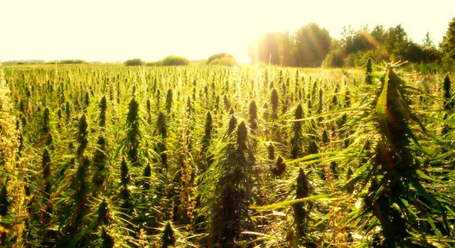 hemp cultivation in china