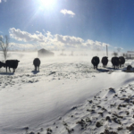 livestock in winter