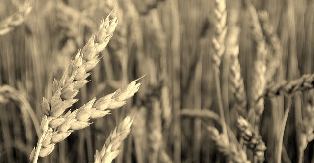 A race against devastating wheat disease