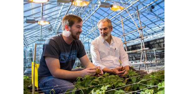 Parker Laimbeer (left) and Richard Veilleux examine specimens in their greenhouse. Laimbeer, an expert in endoreduplication, is working to alter genes in order to control the size of potatoes and to potentially increase yields. (Courtesy of Virginia Tech)
