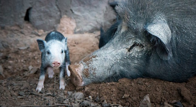 Feral hog poison field tests in Texas, Alabama