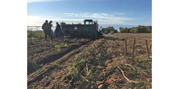Photo 1. 2017 potato variety trial. (Courtesy of MSU Extension)