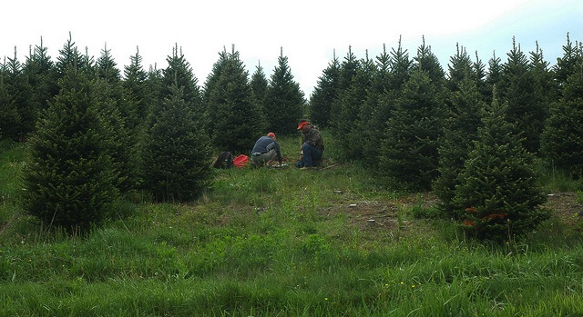 'Real' Christmas trees support farmers