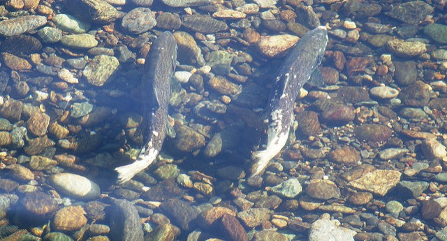 California salmon lose way after drought