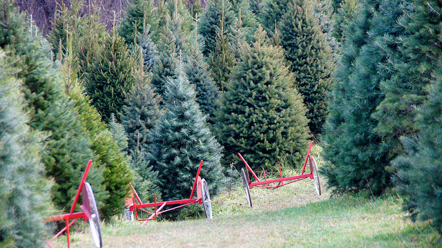 'Side project' turns into Christmas tree farm