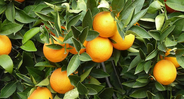 A Christmas present for citrus growers
