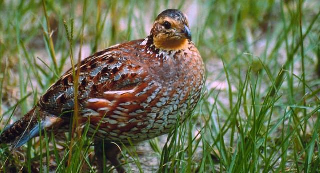 See northern bobwhite quail? Report sightings