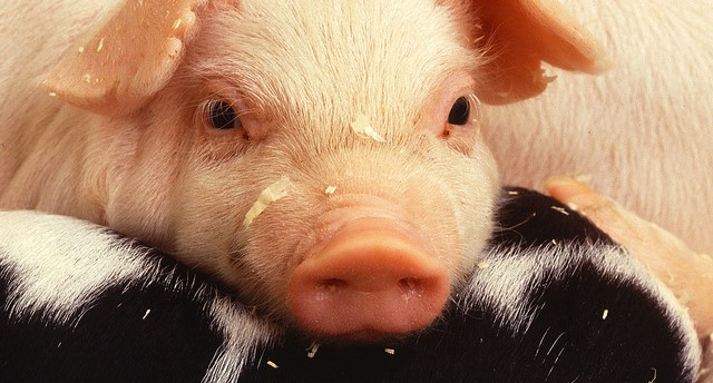 Antibiotics report validates pig farmers' work