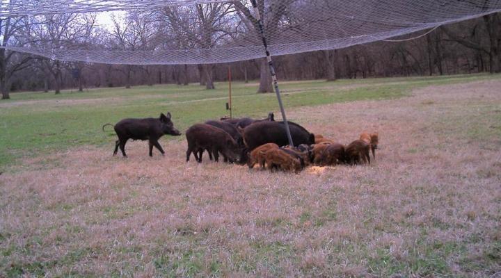 Field trials begin on feral swine toxic bait