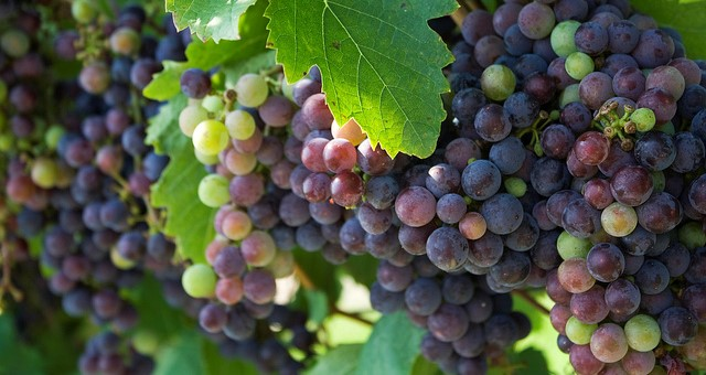 Growing grapes commercially in Maine
