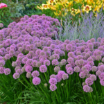 The Perennial Plant Association has awarded the title Perennial Plant of the Year 2018 to Allium 'Millenium.' (Courtesy of University of Illinois Extension)