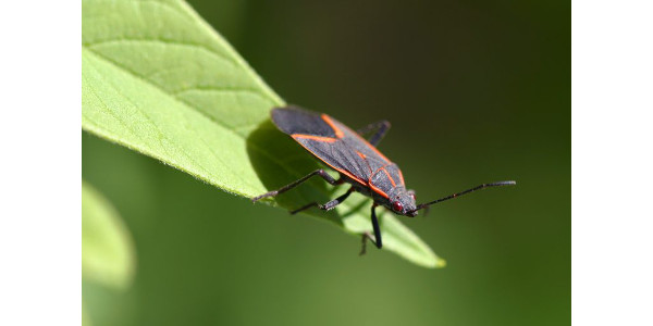 A boxelder bug. (Courtesy of UW-Extension)