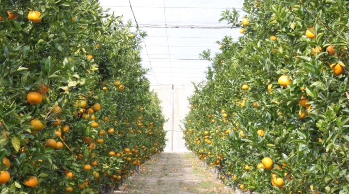 Screen houses may prevent citrus greening