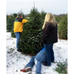 When selecting a farm-grown Christmas tree, make sure it is green and the needles don't fall off too easily. (Courtesy of MSU Extension)