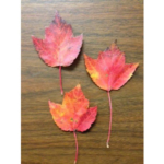 Red maple leaves. (Tom Guthrie, MSU Extension)