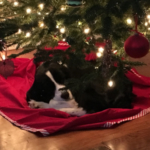 Trixie waits for Santa.