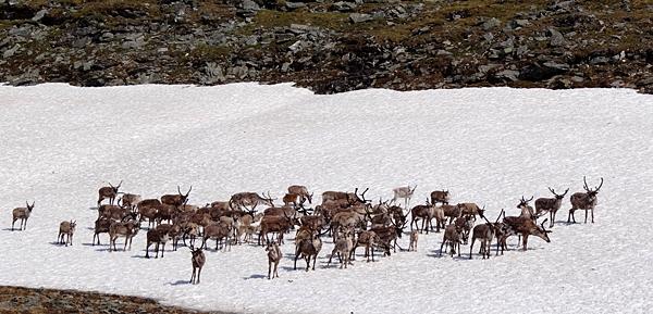 Alaskan reindeer receive clean bill of health