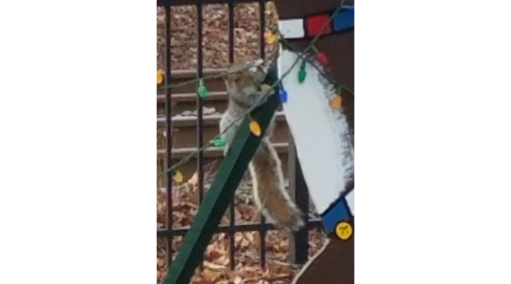 Grinch squirrel goes on crime spree, takes out town's Christmas lights