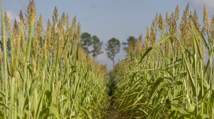 UF/IFAS-developed sorghum used for biofuel