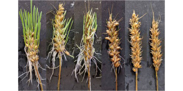 Wheat susceptibility to pre-harvest sprouting