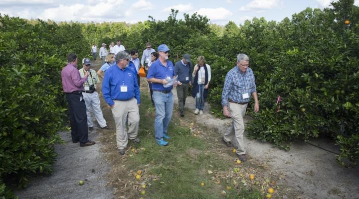 UF/IFAS, Tropicana test new citrus varieties