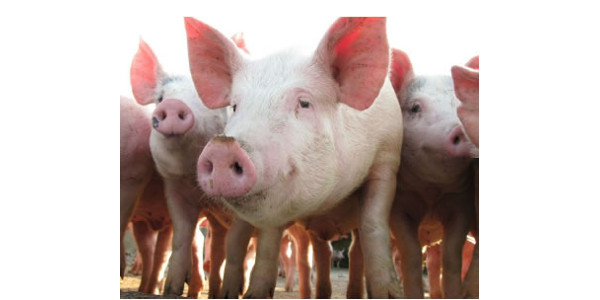 Pork producers are invited to attend either of two workshops focusing on advanced swine reproductive management topics scheduled for mid-December in northeast and northwest Iowa. (Courtesy of ISU Extension and Outreach)