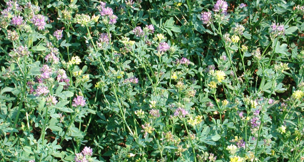 New 'toolbox' to better study alfalfa