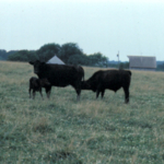 Coles says weaning should be as low-stress as possible. Research supports the fenceline concept as the desired method. Make sure the fences are good, the lot or pasture offers shade, fresh water and a minimal amount of dust. (Photo credit: University of Missouri Extension)