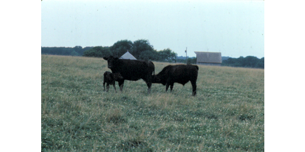 Dry weather makes calf weaning more important