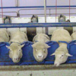 Sheep standing in a milking parlor. (Courtesy of MSU Extension)