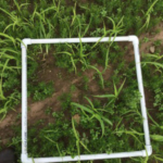 Photo 1. Quadrate used to take biomass samples and estimate plant population. Erosion from excessive rain is also captured, possibly complicating establishment. (Photo by Monica Jean, MSU Extension)