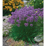 """Allium """"Millenium"""" – Named 2018 Perennial of the Year. (Photo Credit to Walters Gardens, Inc.)"""